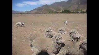 南島のオマラマで羊の毛刈りショーを見学後、牧羊犬が羊を追う様子を見...