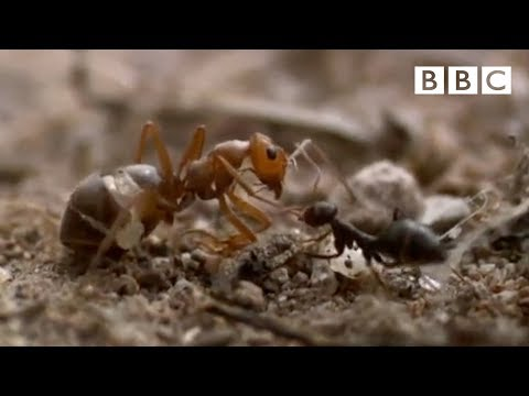 Thumbnail: Ant colony raids a rival nest - Natural World - Empire of the Desert Ants - BBC Two