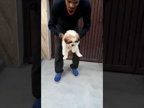 St bernard puppy price in delhi 9999039993 noida ghaziabad gurgaon faridabad india online sale pupp