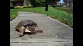 Кто сказал что черепахи медленные!? Прикол