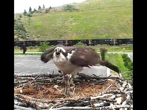 Hellgate ospreys 6 16 17 541pm vicious attack at the nest by an osprey intruder