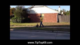 Board And Train With Two Miniature Pinschers - Off-leash Training Tip Top K9