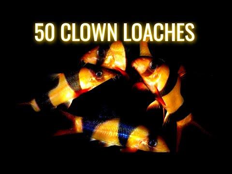 HUGE School of Clown Loaches  - Guppy Fish - African Cichlids - Pleco Fish