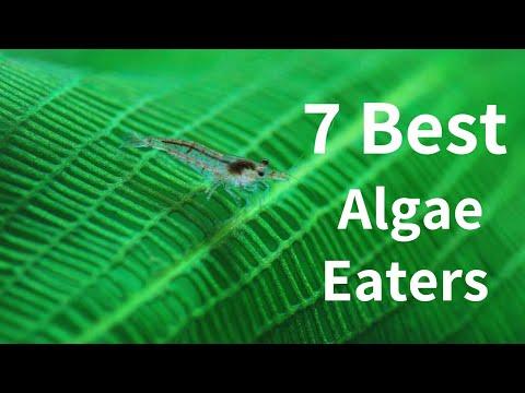 7 Best Algae Eaters For Your Planted Aquarium - 2019 [Video In Hindi]