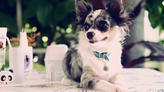 Чем и как чистить зубы собаке в домашних условиях | Чихуахуа Софи