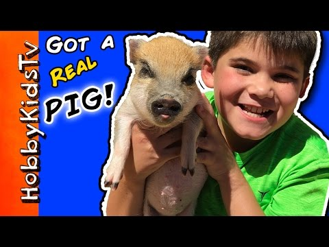 We Buy a PIG! Mini Pig Pen Tour with HobbyPig, What's the Name? HobbyKidsTV