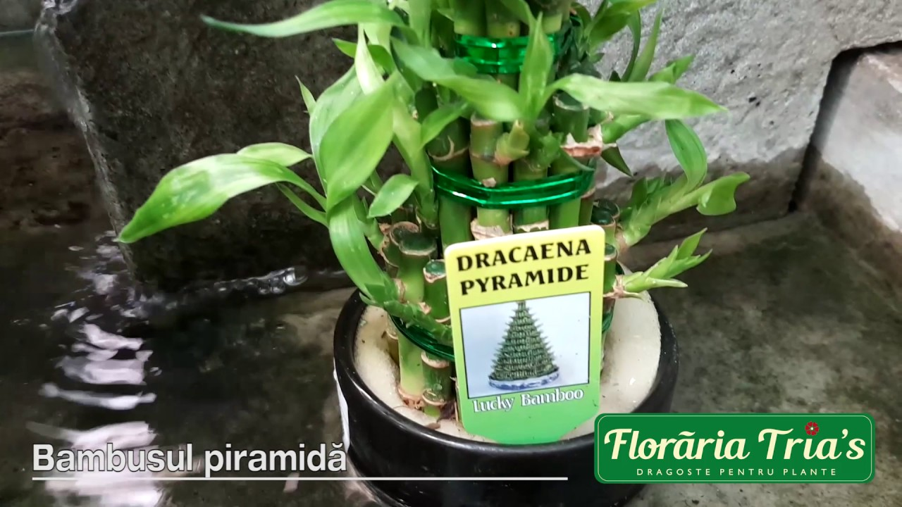 Floraria Tria S Bambusul Piramida Youtube