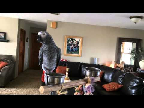 Ruby the talking African Grey Parrot