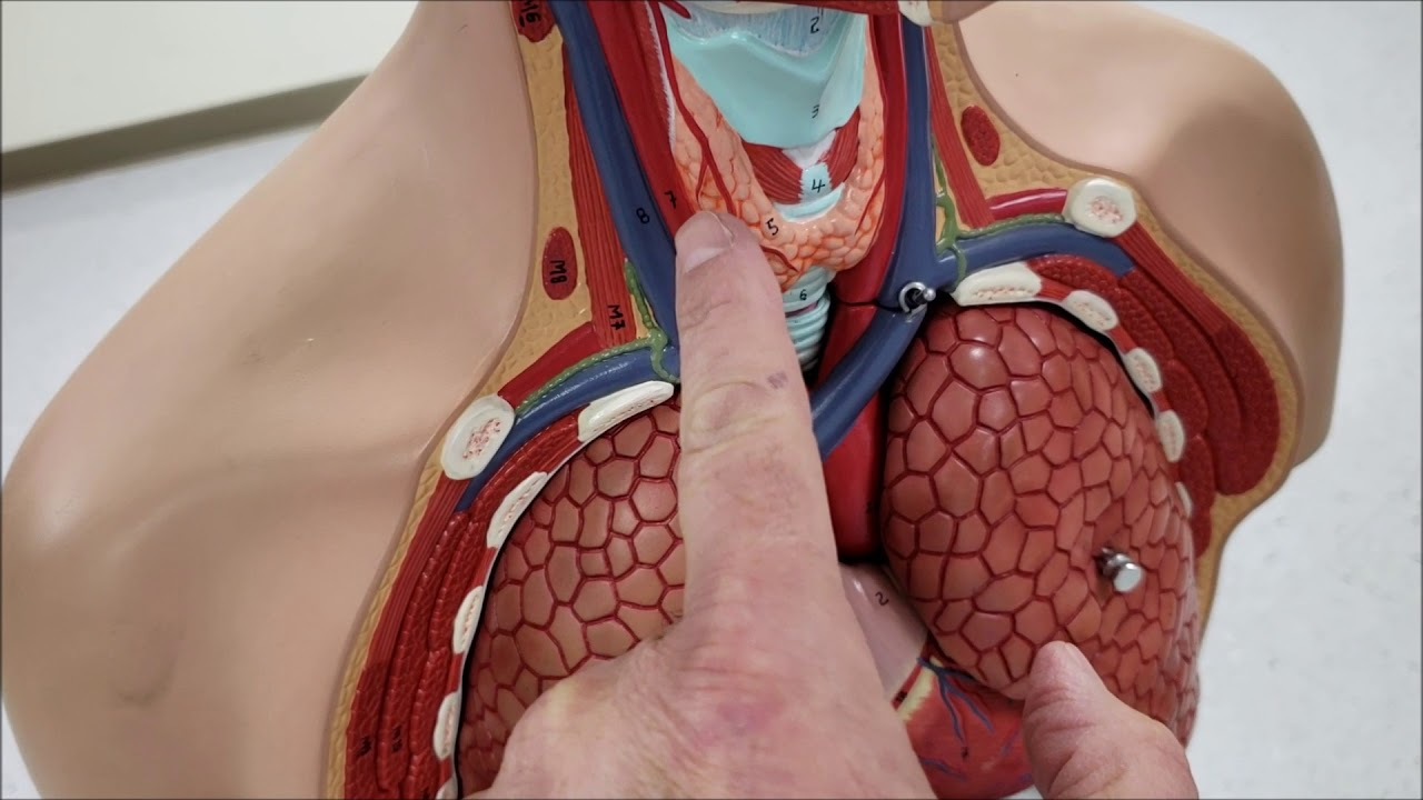 Torso Model Thyroid Gland Youtube