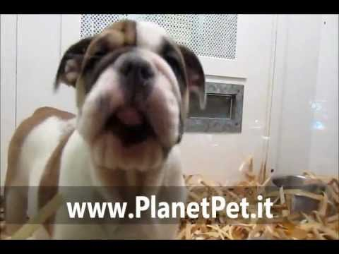 Bulldog Inglese – www.PlanetPet.it
