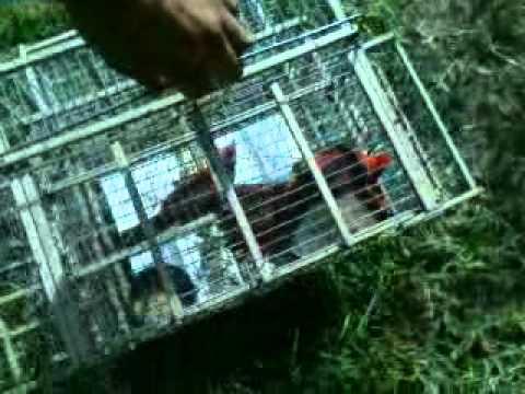 Pesca de cardenal pollon