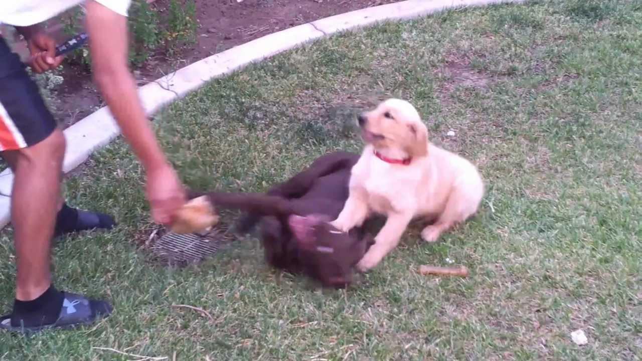 Chocolate labrador vs golden retriever