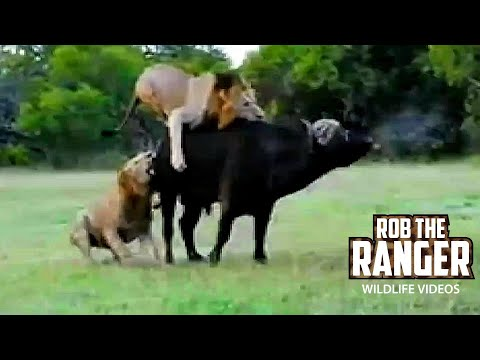 Lions Catch A Buffalo Bull   Rob The Ranger Special Edition
