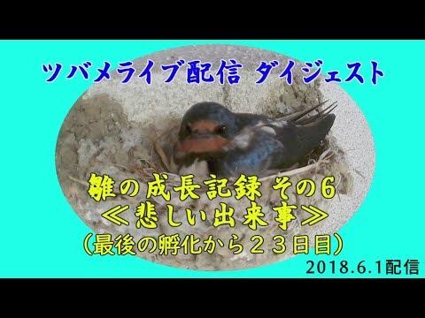 「ツバメの産卵から巣立ちまで」ダイジェスト版 6月1日ライブ配信 ≪悲しい出来事≫