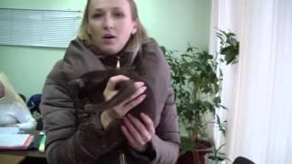 Борис Орибус - ориентальный котенок