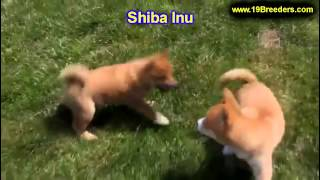 Shiba Inu, Puppies, For, Sale, In, Portland, Maine, Me, Brunswick, Waterville, Westbrook, Saco