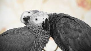 Экзотические попугаи: серый африканский попугай жако, красноспинный ара, солнечные аратинги