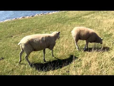 Unfreundliche Schafe Video Deutsch Lustig Spaß Comedy Verrückt crazy funny