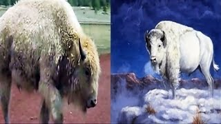CUSCO - White Buffalo - The Legend and The Ritual Sublime