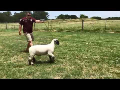Lakey Club Lambs