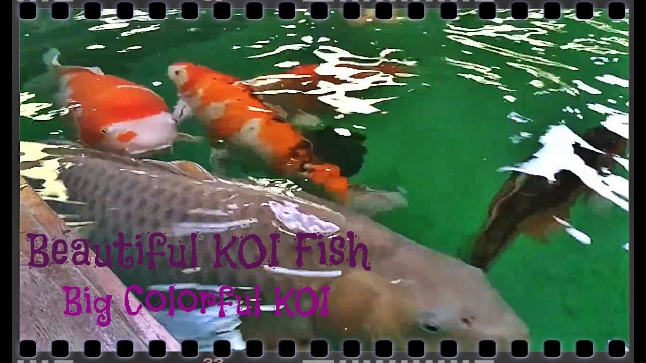 Beautiful KOI Fish Big Colorful Koi Part 18 - YouTube