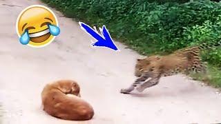 فهد يظهر فجأة لكلب نائم سبب له حالة من الرعب والهستيريا !!