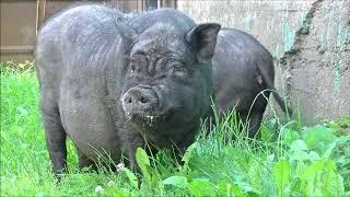 синтетические свинья потеет или нет эластичность обеспечивается наличием