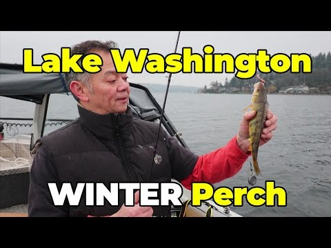 Lake Washington Winter Perch Fishing Tips