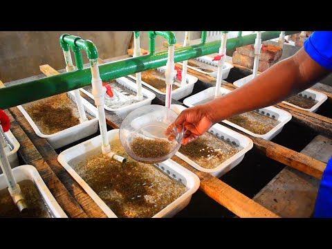 Monosex Tilapia Fish Eggs Breeding Farm Production House