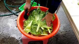 採芥菜做酸菜