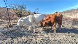 Vacas en realidad virtual | Episodio #33