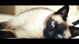 Сиамская кошка, или сиам (Siamese cat) породы кошек( Slide show)!