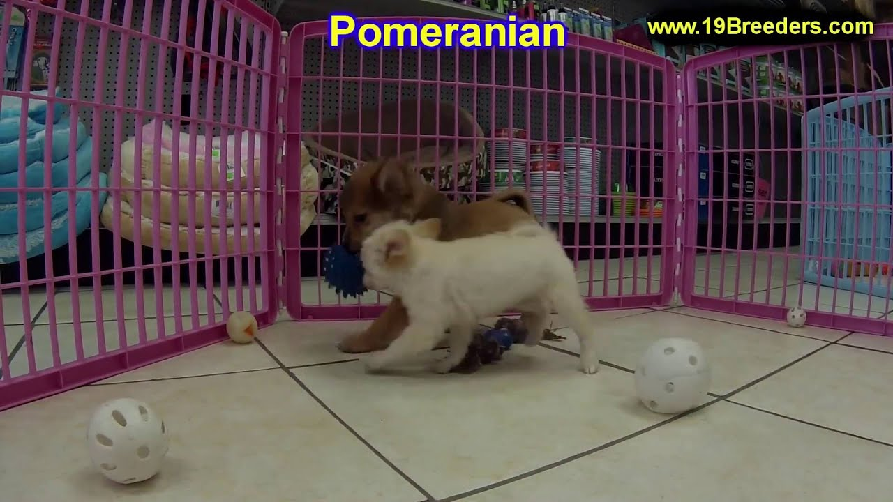 pomeranian puppies for sale in alabama pomeranian puppies dogs for sale in birmingham 8848