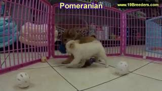 Pomeranian, Puppies, For, Sale, In, Chicago, Illinois, Il, Carol Stream, Streamwood, Plainfield, Cry