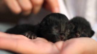 Tiny Black Kittens