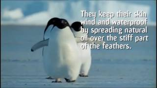 Repeat youtube video How Do Penguins Keep Warm?