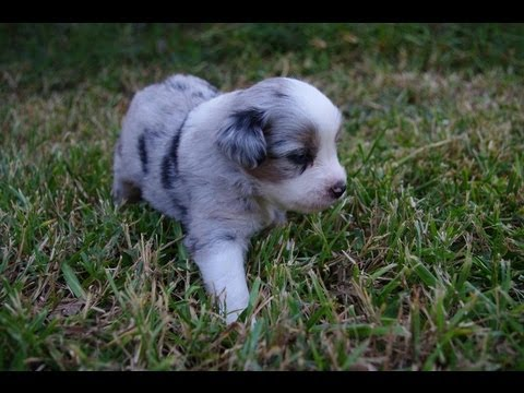 Miniature Australian Shepherd Puppies Playing and Socializing 2013