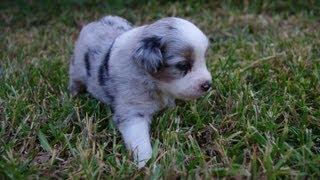 Miniature Australian Shepherd Puppies Playing And Socializing 2013