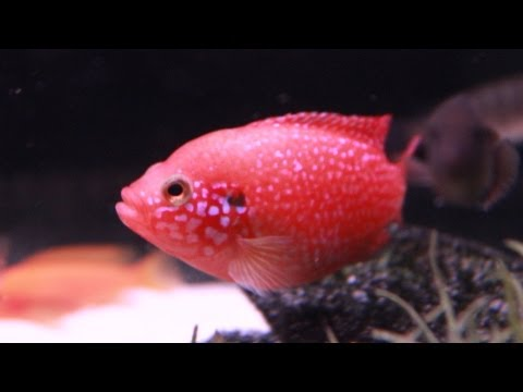 Blood Red Jewel Cichlid - Line Bred Variety