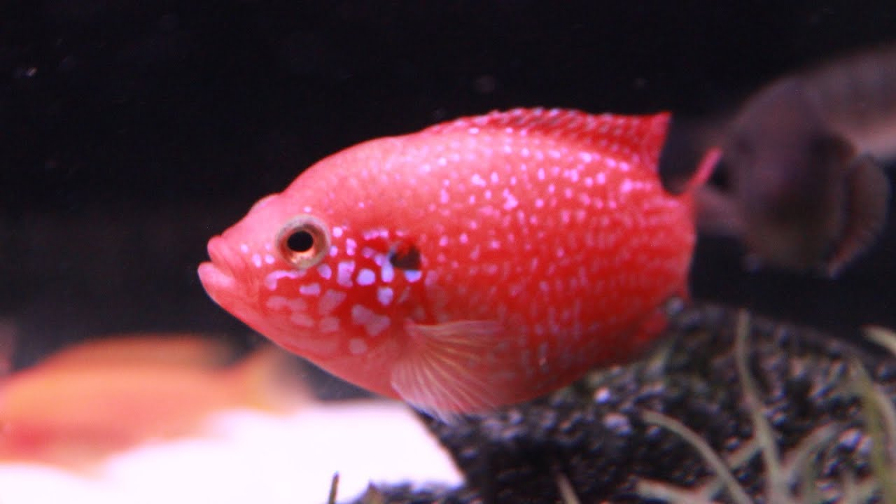 Blood Red Jewel Cichlid - Line Bred Variety - YouTube