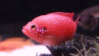 Blood Red Jewel Cichlid - Line Bred Variety
