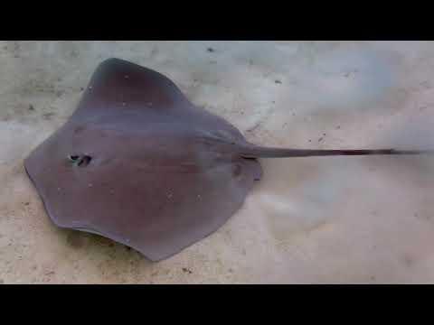 Snorkeling French Polynesia- Bora Bora and Taha'a Rays, Sharks and Fish Galore!