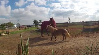 סוסים משחקים