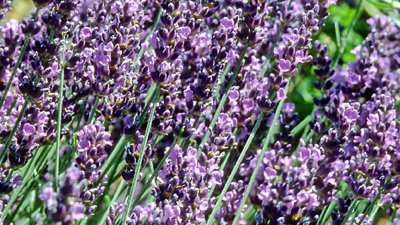 Panduan Cara Menanam Lavender dan Merawatnya