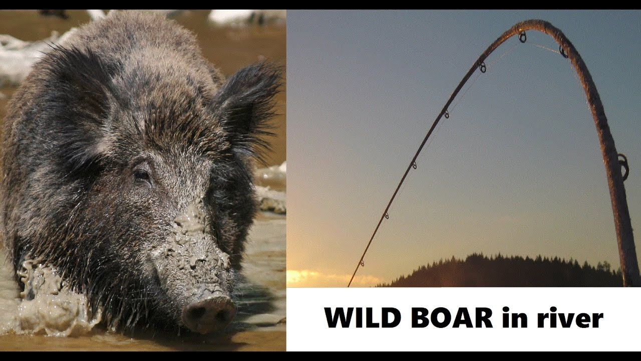 Wild Boar Attacks Human floating WILD BOAR att...