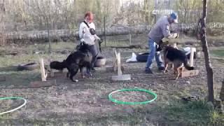 Джек, Барон, Стела - видео урок дрессировка немецкой овчарки