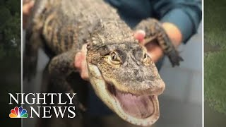 Chicago's Elusive Alligator 'Chance The Snapper' Finally Caught | NBC Nightly News