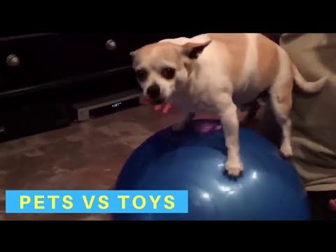 Cute and funny videos of dogs and cats with their favorite toys