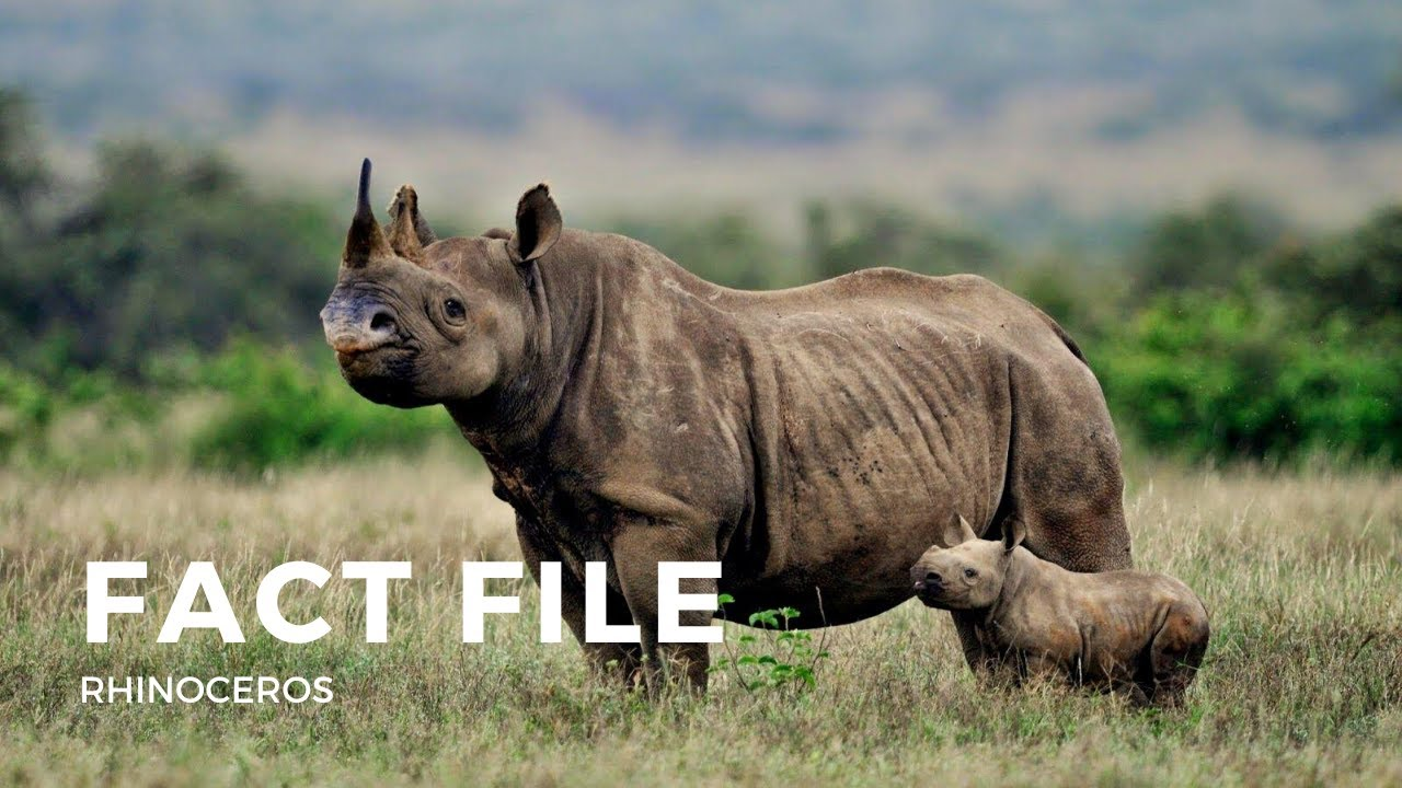 Facts about the Rhinoceros