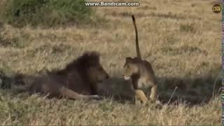 ~ Wielki koty Afryki -  Lwy - SAMIEC I SAMICA , GRA WSTĘPNA ~   Safari   23/09/2018